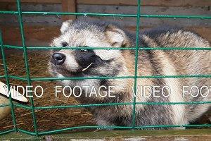 Ussuri Raccoon dog in captivity behind bars