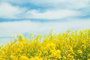 Yellow blooming rapeseed