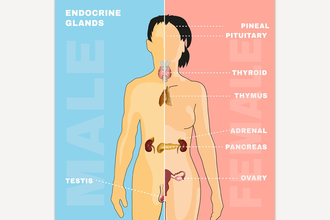 Endocrine System Illustrations Creative Market