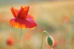 Red poppy on field