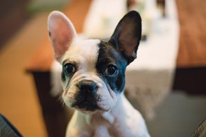 Bulldog french portrait at home.