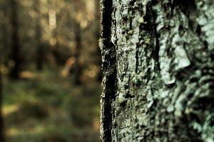 Pine Tree - close up