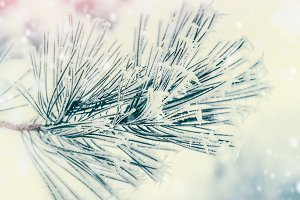 Winter branch of fir with snow