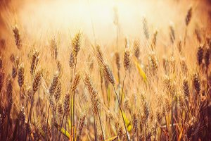 Cereal field in sunset, close up