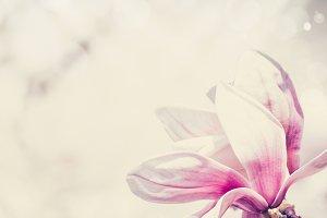 Magnolia flower pastel color