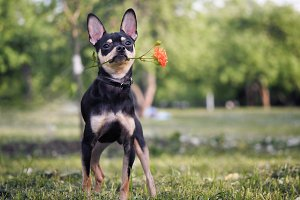 Funny dog with a flower in his mouth. Miniature Pinscher puppy. Flower rose pink