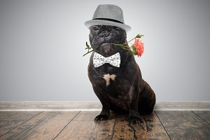 Funny dog with a flower in his mouth. French bulldog in a hat with a rose in one's teeth