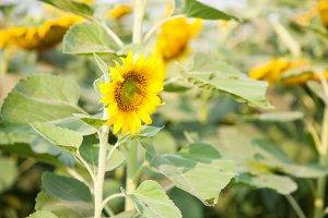 Sunflower in a sunflower farm