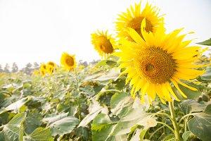 Sunflower in sunflower field