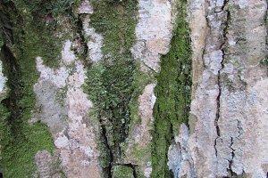 Hornbeam bark texture
