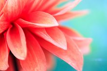 Pink flower closeup stock photo containing flower and nature