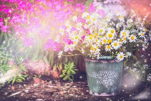 Bucket with daisies bunch in garden