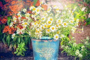 Vintage bucket  with daisies
