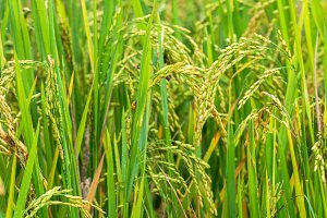 closeup Rice field
