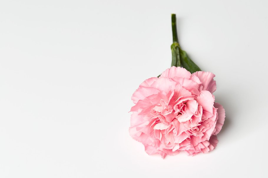 Pink carnation flower on white background nature photos creative pink carnation flower on white background nature photos creative market mightylinksfo