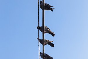 Pigeons perched on a wire.