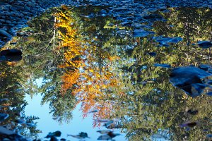 Autumn trees reflection in puddle.