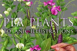 Pea Plants. Botanic Illustrations