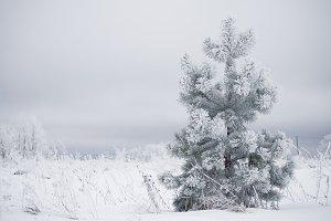 Pine in field
