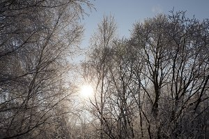 hoarfrost on the branches of trees