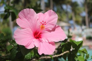 Pink Hibiscus Flower at a Resort