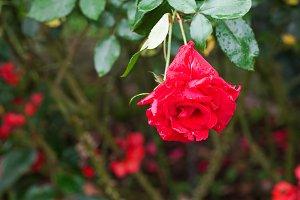 Rose blooming in garden.