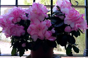 Pink azaleas at window
