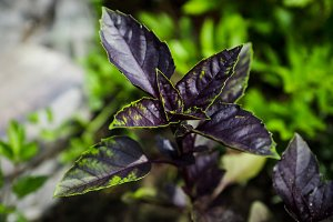 Red basil plant