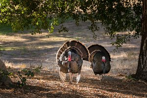 Wild turkeys strutting in sunshine