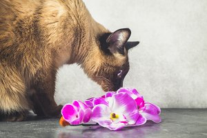 Siamese Thai cat plays and gives flowers. Dark gray background.