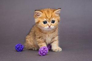 Red British kitten with ball