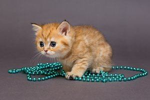 British kitten orange and blue beads