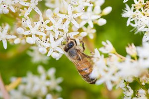 Bee and White Flowers