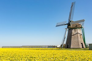 A windmill in a field of daffodils.