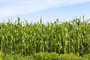 edge of cornfield