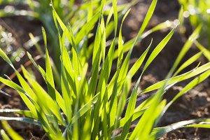 row grass