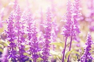 Vintage lavender flowers