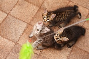 Three cute little bobtail kitten
