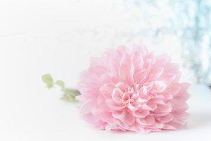 Big beautiful pink pale flower