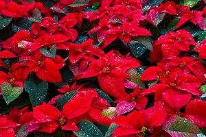 christmas star flowers