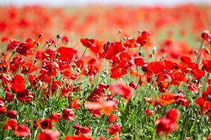 Poppy field. Flowers background