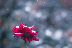 Rose flower drops and snow flakes