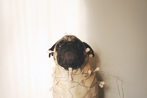 Funny pug dog in the party garland