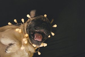 Pug dog in the party garland
