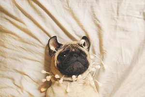 Cute pug dog in the party garland