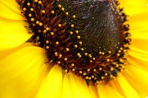 Sunflower (Helianthus annuus)