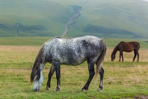 gray horse dapple and brown horses