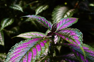 Plant with purple leaves