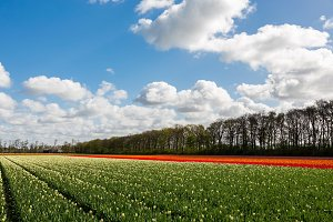Colourful tulipfield in Lisse.