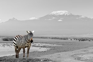 Black and white photo with animal